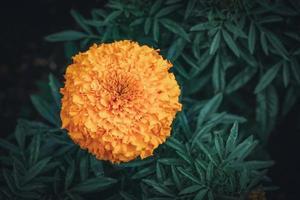flor de calêndula africana em um jardim foto