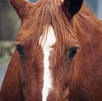 olhos de cavalo castanho