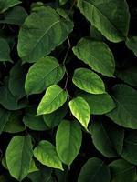 folhas verdes da planta na natureza