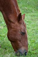 lindo cavalo castanho