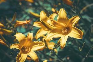 flores e botões amarelos do hemerocallis