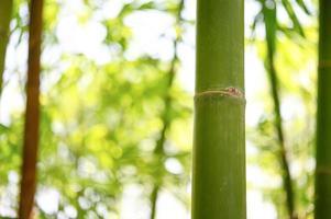 ramo de bambu na floresta perto de um fundo verde bonito foto