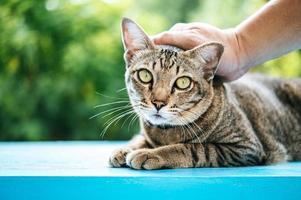 mão acariciando um gato malhado foto