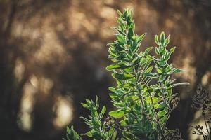 folhas perenes de arbusto de esteva foto