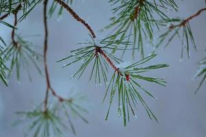 neve nas folhas do pinheiro no inverno foto