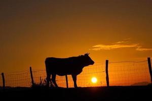 silhueta de uma vaca ao pôr do sol no prado