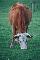 vaca marrom pastando no prado