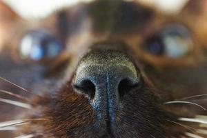 nariz de gato marrom siamês