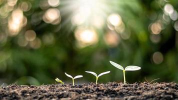 as mudas estão crescendo em solo fértil, incluindo a evolução do crescimento das plantas de sementes para mudas. conceito de ecologia e agricultura foto