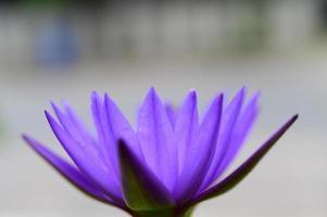 uma flor de lótus roxa foto