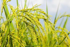 close-up de uma fazenda de arroz foto