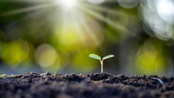 pequenas árvores com folhas verdes, crescimento natural e luz solar, o conceito de agricultura e crescimento sustentável de plantas foto