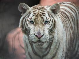 close-up de um tigre branco foto