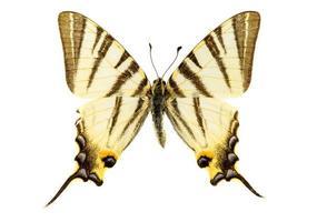 escassa borboleta rabo de andorinha foto