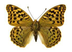 borboleta fritilar niobe foto