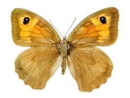 borboleta guardiã em fundo branco foto