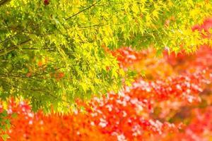 lindas folhas verdes e vermelhas de bordo foto