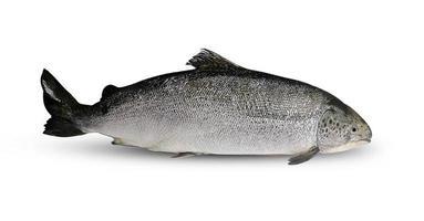 peixe salmão em fundo branco foto