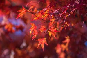 folhas de bordo vermelhas foto