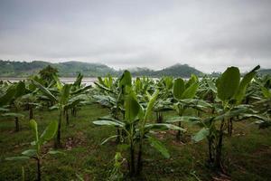 bananeiras e montanhas com nevoeiro foto