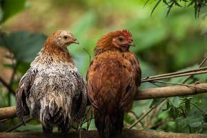 galinhas em um galho foto