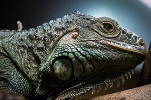 close-up de uma iguana foto