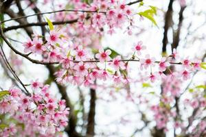 flores de sakura rosa foto