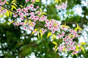 flores de cerejeira contra folhas verdes foto