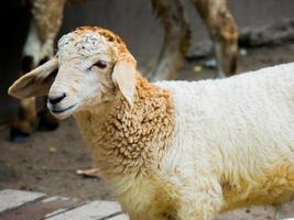 ovelha close-up lá fora foto