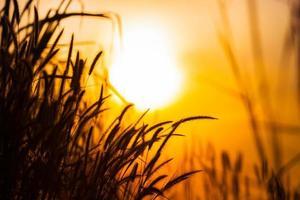 silhuetas de grama contra o nascer do sol foto
