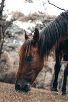 um cavalo pastando no prado