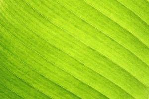 close-up de folha de bananeira foto