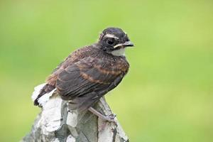 pássaro pied fantail empoleirado