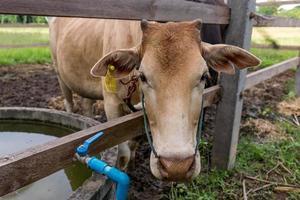vaca marrom olhando para a câmera com a cabeça atravessando a cerca