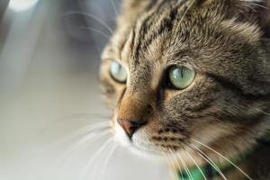 close-up de um gato malhado com olhos verdes foto