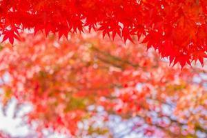 belas árvores de bordo no outono foto