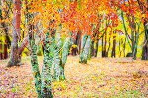 belas árvores de bordo no outono