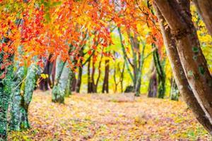 bela árvore de folha de bordo no outono foto