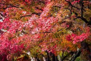bela árvore de bordo no outono foto