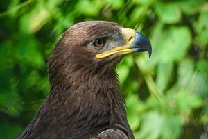 vista lateral de grande ave de rapina com fundo verde natural foto