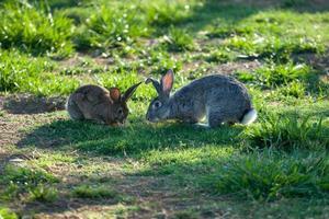 dois coelhos iluminados comendo grama foto