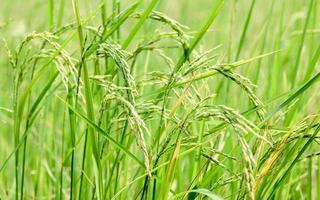 arroz em casca durante o dia foto