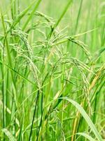 campo de arroz durante o dia