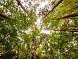 grandes árvores na floresta, vista de baixo ângulo