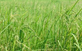 campo de arroz verde foto