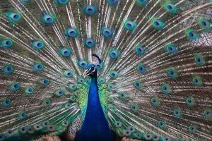 pavão com penas espalhadas foto