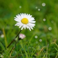 linda flor da margarida no jardim na primavera foto