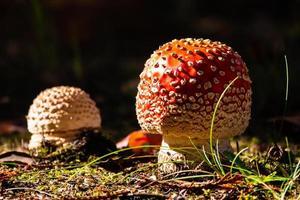dois cogumelos vermelhos