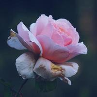 uma linda flor rosa na primavera foto