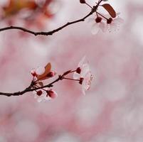 planta de flor rosa na natureza na primavera foto